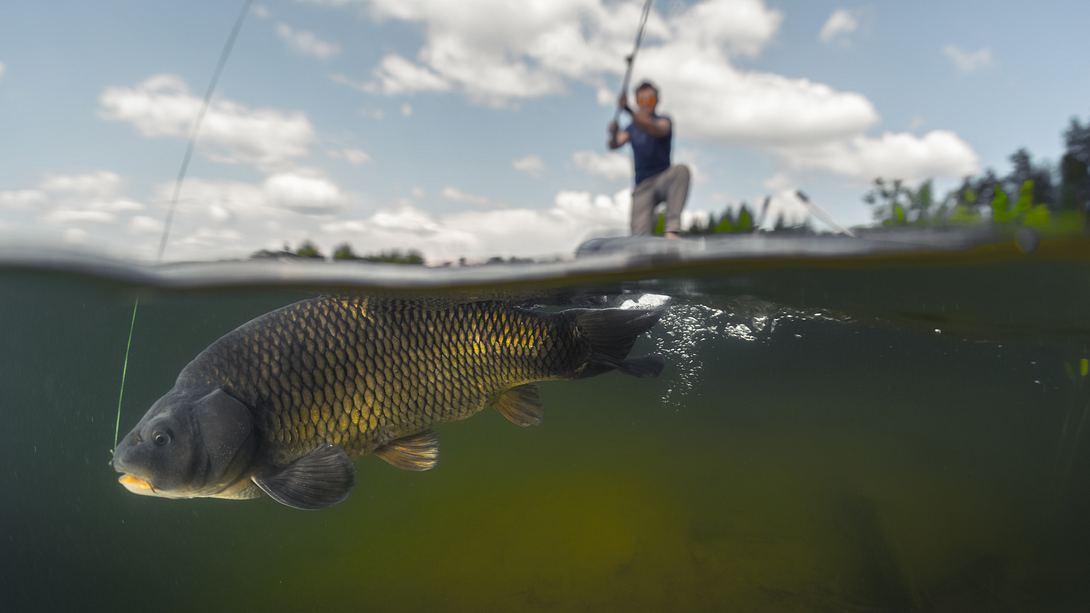 Angler fischt Riesenkarpfen - Foto: iStock / mihtiander