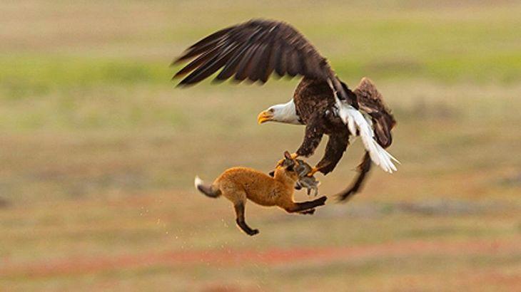 Wahnsinnsaufnahme Adler Schnappt Fuchs Der Einen Hasen