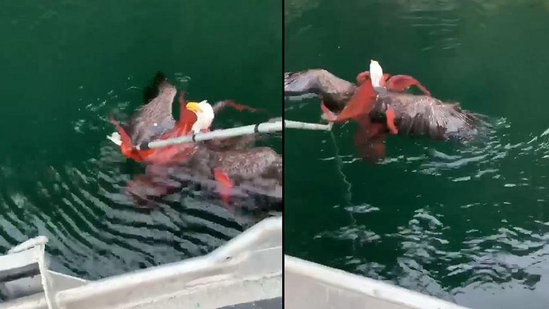 Adler und Oktopus im Kampf