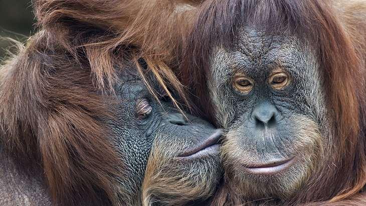 Es gibt jetzt Dating-Apps für Affen
