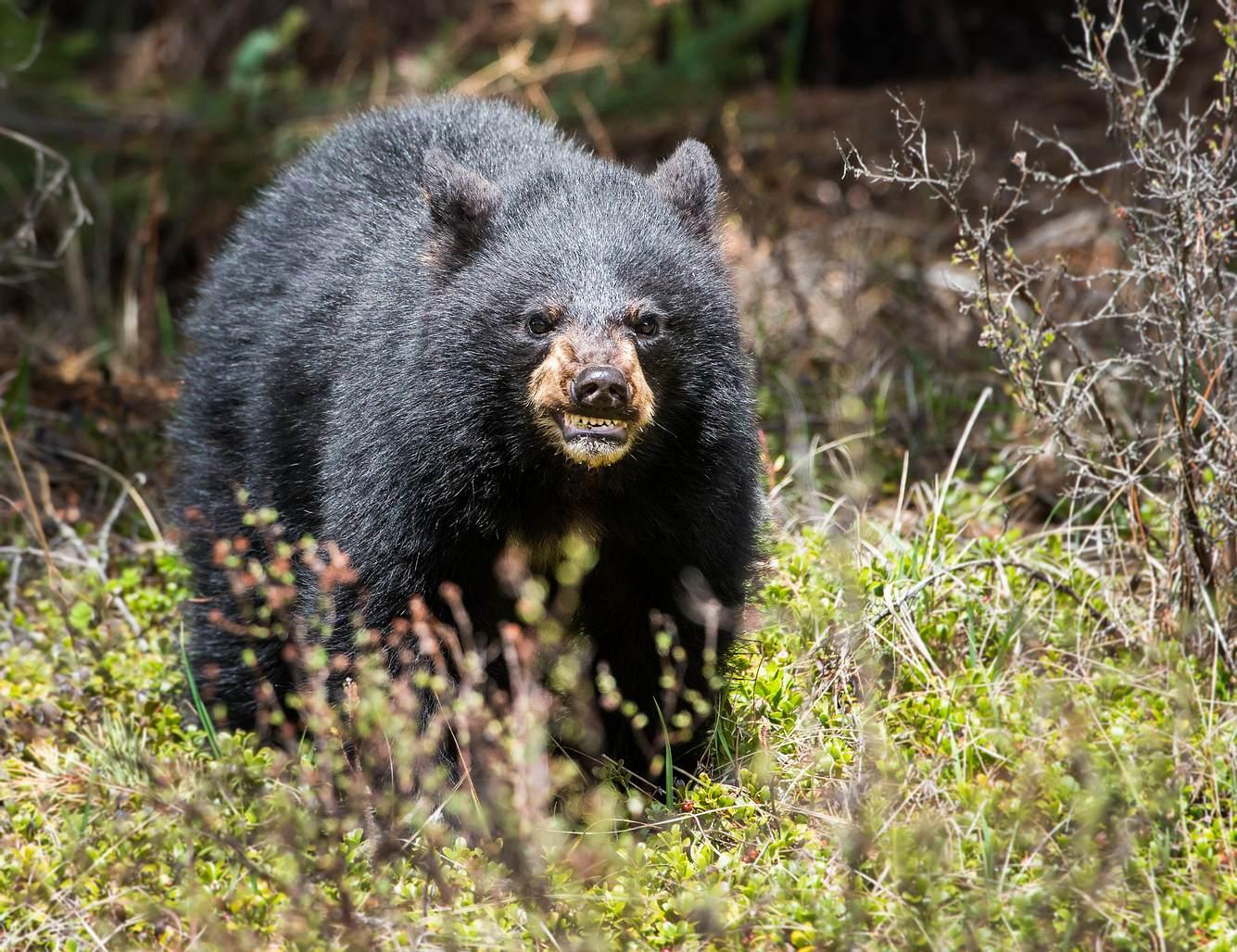 Aggressiver Schwarzbär