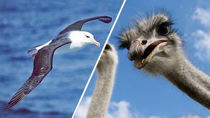 Die größten Vögel der Welt - Foto: Wikimedia / Uwe Kils; iStock / ELizabethHoffmann