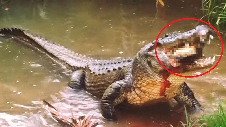 Ein Alligator knackt den Panzer einer Schildkröte