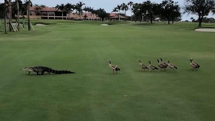 Alligator entert Golfplatz, dann kommen tierische Wärter