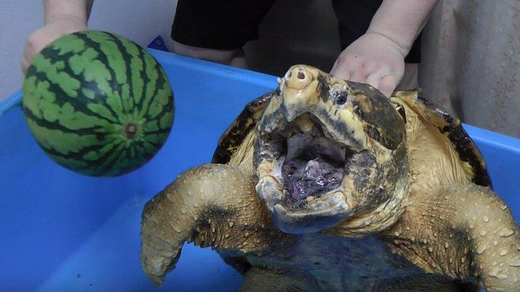 Mit Alligatorschildkröten ist nicht gut Wassermelonen essen