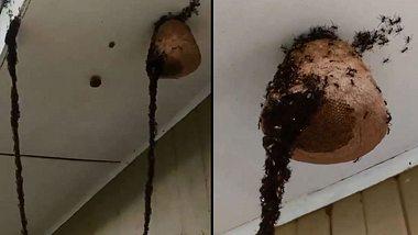 Ameisen-Kolonie attackiert Wespen mit unglaublichem Trick