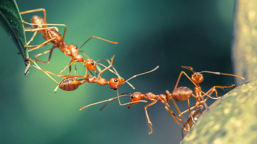 Hausmittel gegen Ameisen: So wirst du das Ungeziefer schnell und einfach los - Foto: iStock / lirtlon