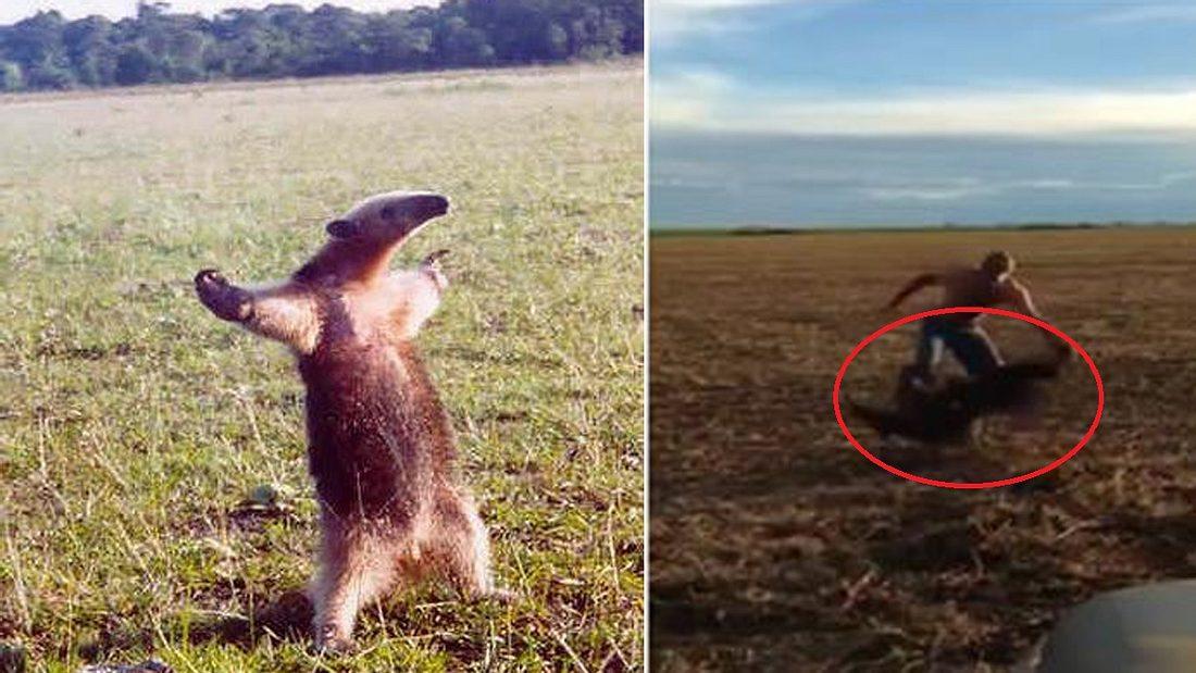 Ein Ameisenbär zerfleischt das Bein eines Mannes, der das Säugetier zuvor provoziert hatte