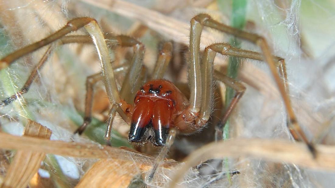 Ammen-Dornfinger: Giftige Spinne breitet sich in Deutschaland aus