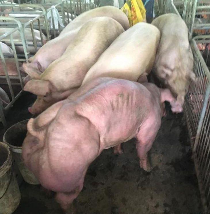 Schweine auf einer Mastfarm in Kambodscha: Zucht mit Anabolika?