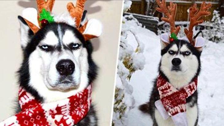 Angry Husky: Dieser Hund hat keine Lust auf Weihnachten