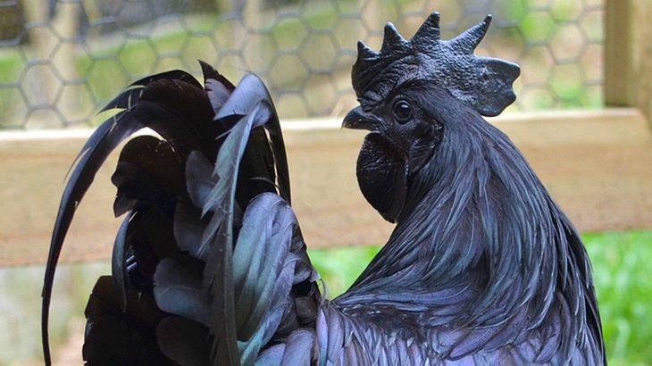 Ayam Cemani: pechschwarzes Huhn ist innen wie außen schwarz