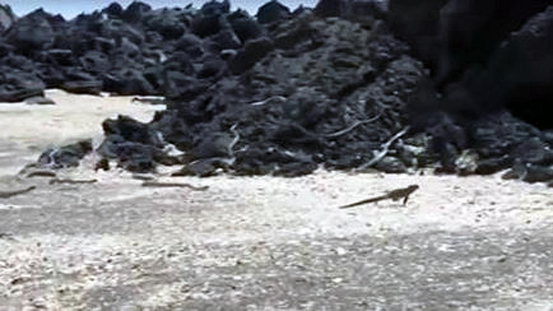 Ein junger Leguan flüchtet vor einem Rudel Giftschlangen