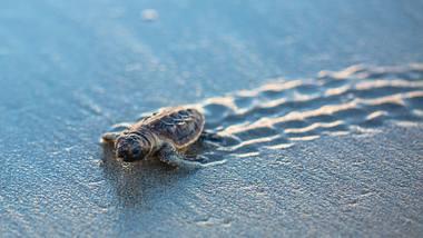Wegen leerer Strände: Dutzende seltene Schildkröten-Babys geschlüpft