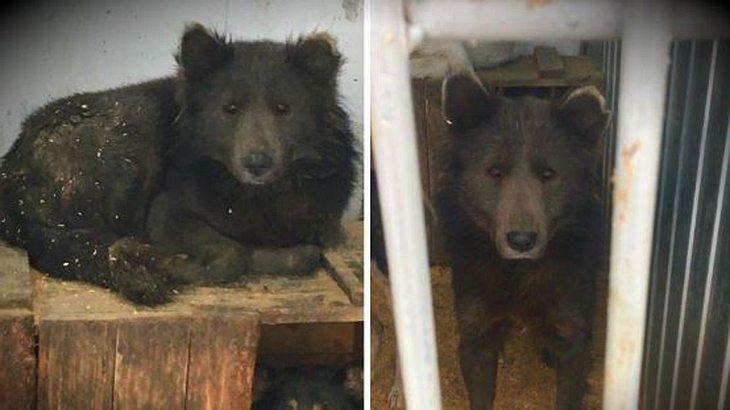 Das mysteriöse Hund-Bär-Hybrid aus Russland