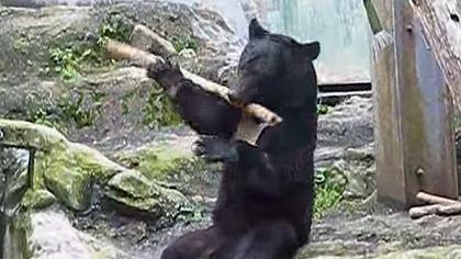 Heftiger Bär: Dieser Zooinsasse kann Kung-Fu - Foto: YouTube / Kanal Alex