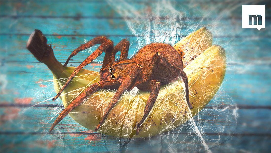 Paar findet tödliche Monster-Spinne in Supermarkt-Bananen