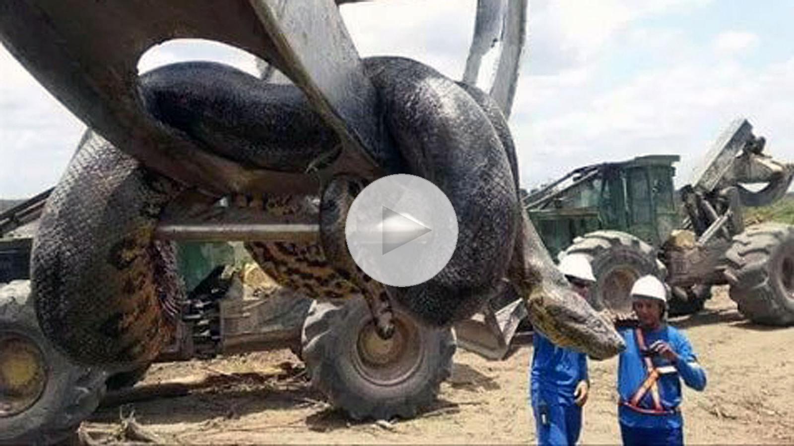 Größte Schlange der Welt bei Sprengungen im Urwald