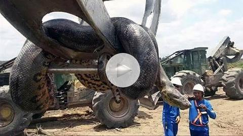 In Brasilien haben Baurabeiter eine 400-Kilo-schwere Anakonda entdeckt - Foto: YouTube