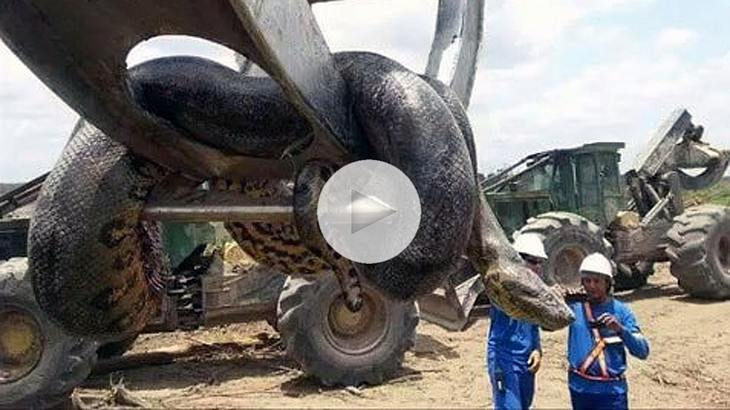 In Brasilien haben Baurabeiter eine 400-Kilo-schwere Anakonda entdeckt