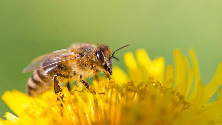 Bienen sind erstaunliche Tiere