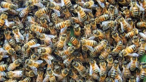 Bienenschwarm überfällt Mann: Eine Körperstelle hat es ihnen besonders angetan