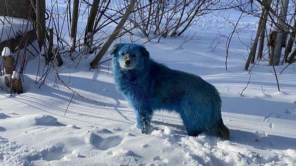 Blauer Hund - Foto: VK