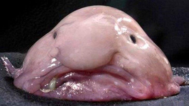 Hässlich! Der Blobfisch