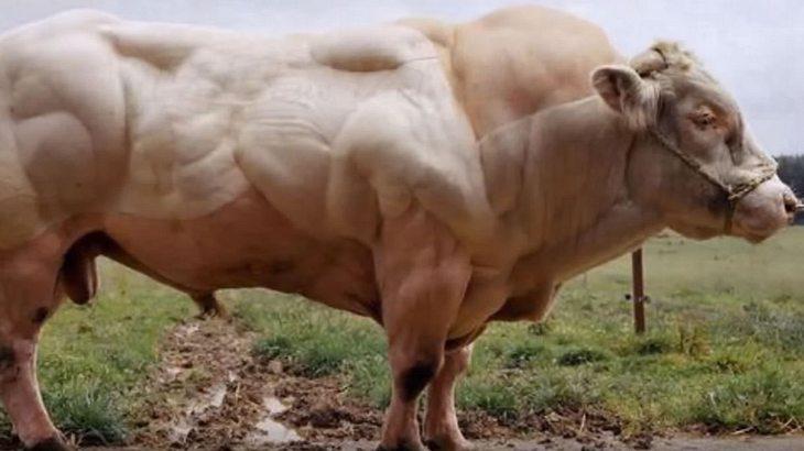 Weißblauer Belgier: Das ist das stärkste Rind der Welt