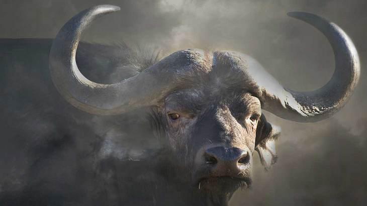 Mit seinen spitzen Hörnern jagt der Büffel sogar Raubkatzen in die Flucht