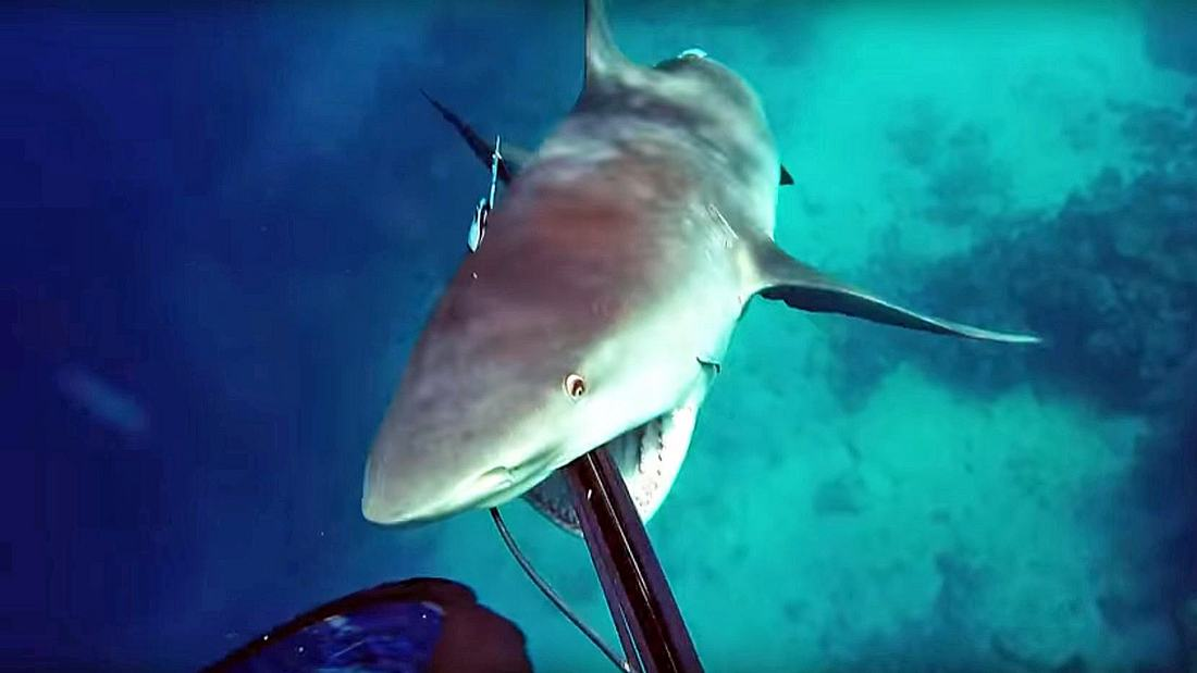 Ein Bullenhai attackiert einen australischen Speerfischer