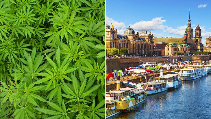 Ganz legal: Start-up startet Cannabis-Anbau in Dresden