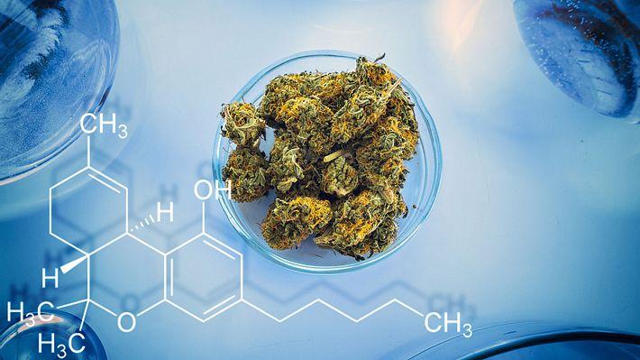 Forschern gelingt es erstmals, Marihuana im Labor zu züchten