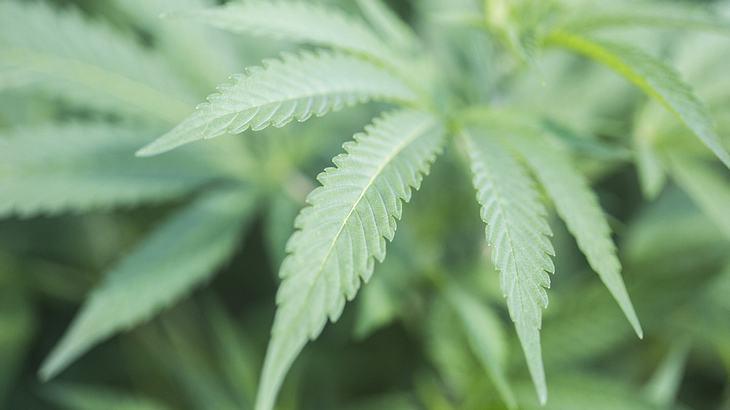 Fail: Cannabis-Kunde zeigt Dealer bei Polizei an