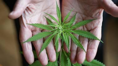 Alte Hände halten Cannabis-Pflanze - Foto: iStock / author