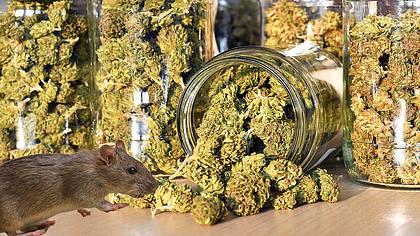 500 Kilo Cannabis verschwunden: Polizist erfindet dümmste Ausrede aller Zeiten