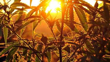 Job-Angebot: Erntehelfer auf Cannabis-Plantage gesucht