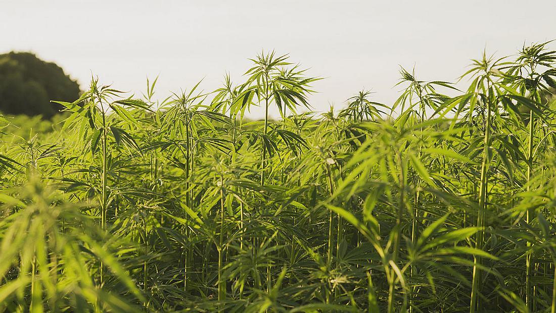 Politiker aus Schleswig-Holstein wollen Cannabis legalisieren.