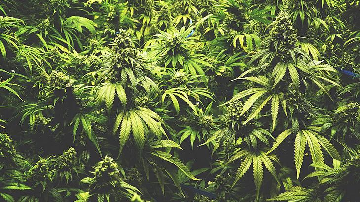 In Würzburg eröffnet Deutschlands erstes Cannabis-Cafe.