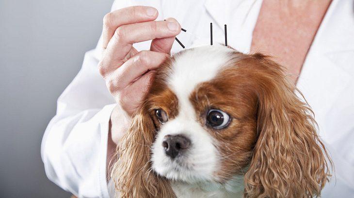 Der Druck auf den Kopf dieser Tiere ist so hoch, dass selbst eine Akupunktur nur selten hilft.