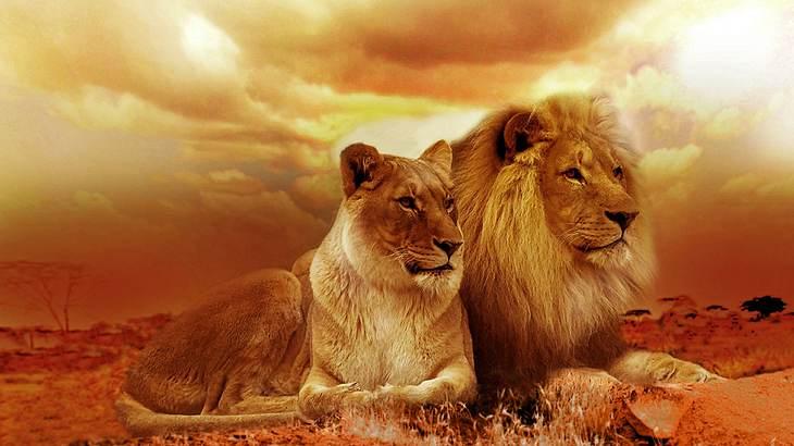 Sohn des größten Löwen Afrikas von Wildjägern erschossen