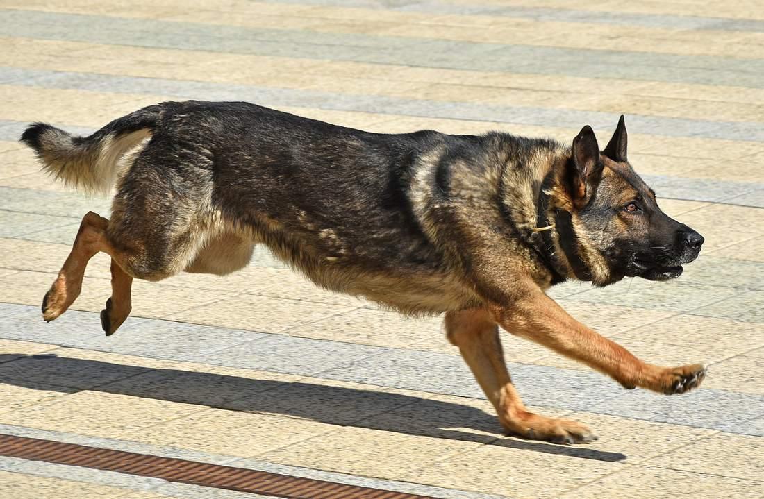 Deutscher Schäferhund beim Laufen
