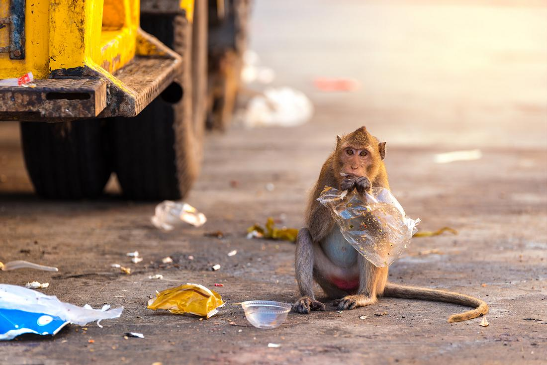 Affe, der auf einer Straße sitzt und Müll isst