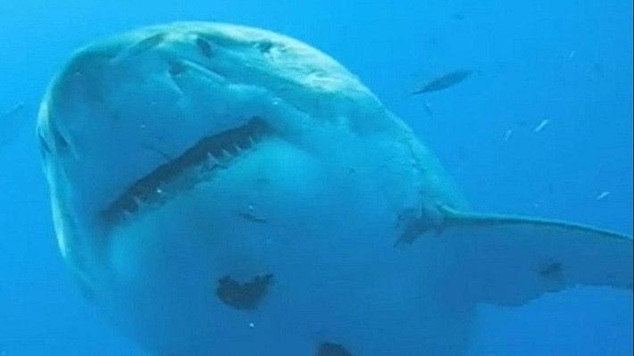 Deep Blue ist der größte Weiße Hai, der je gefilmt wurde - Foto: YouTube / Barcroft TV