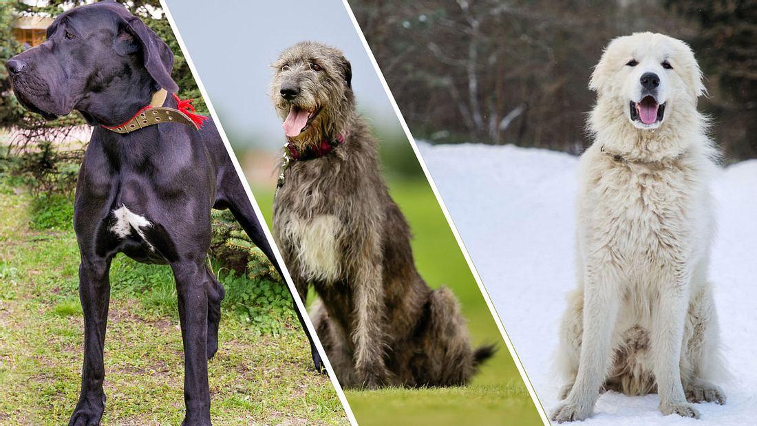 Die größten Hunde der Welt