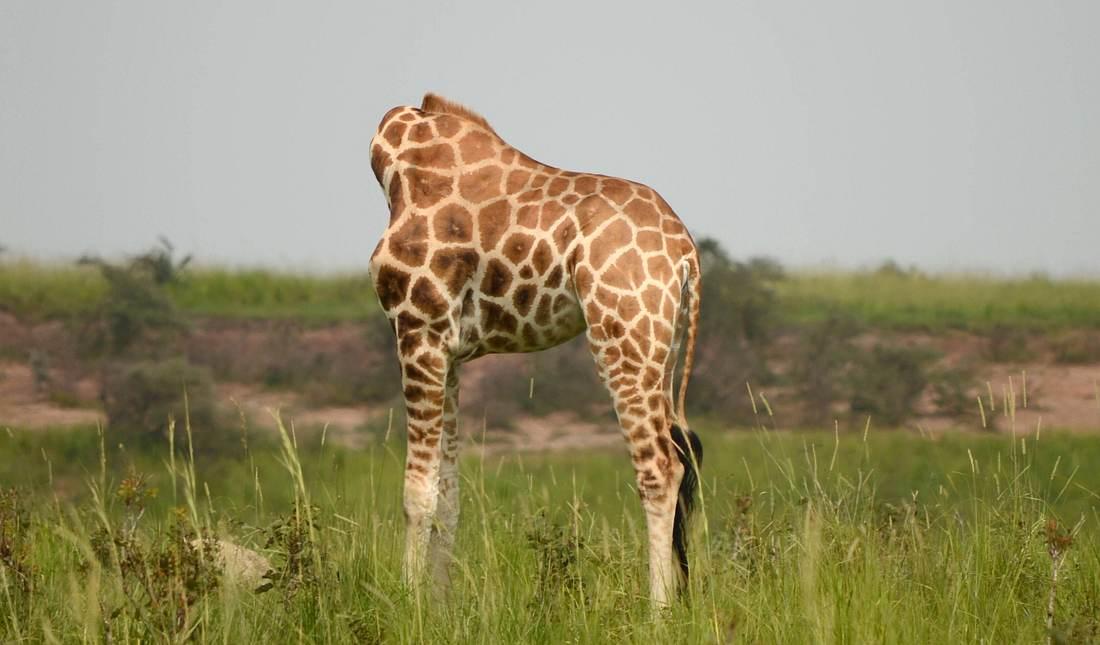 Die kopflose Giraffe