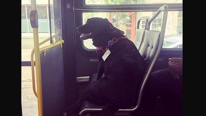 Seit mehreren Jahren fährt Labrador-Hündin Eclipse täglich allein mit dem Bus - - Foto: Screenshot Reddit /
