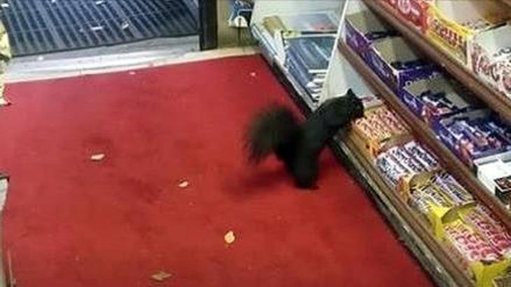 Eichhörnchen überfallen einen Kiosk in Toronto und erbeuten Schokoriegel