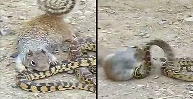 Ein Eichhörnchen kämpft mit einer Schlange