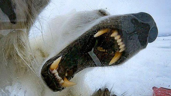 Aufgerissenes Eisbärenmaul